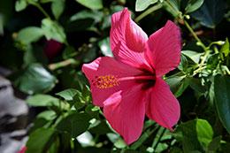 Beneficios del hibisco