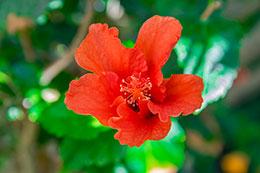 Contraindicaciones del hibisco